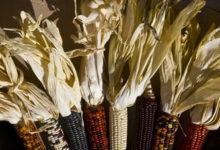 Photo of Inicia campaña para que Congreso de la Unión apruebe Ley Federal para el Fomento y Protección del Maíz Nativo….