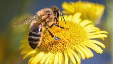 Photo of La grandeza de la pequeñez en las abejas